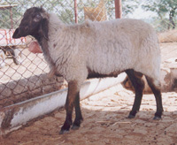 Central Sheep and Wool Research Institute, Avikanagar