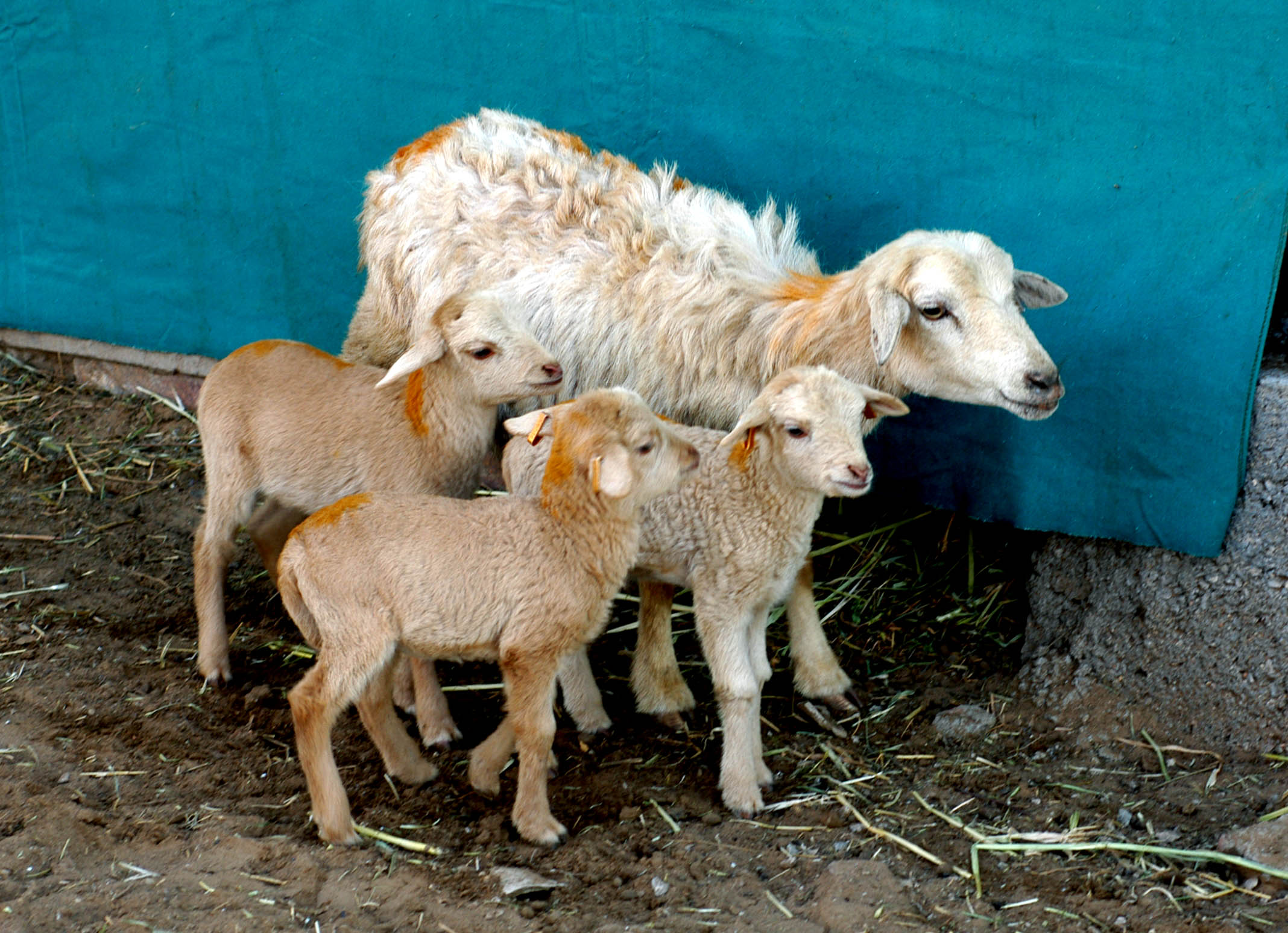 Gerole Ewe with Triplets